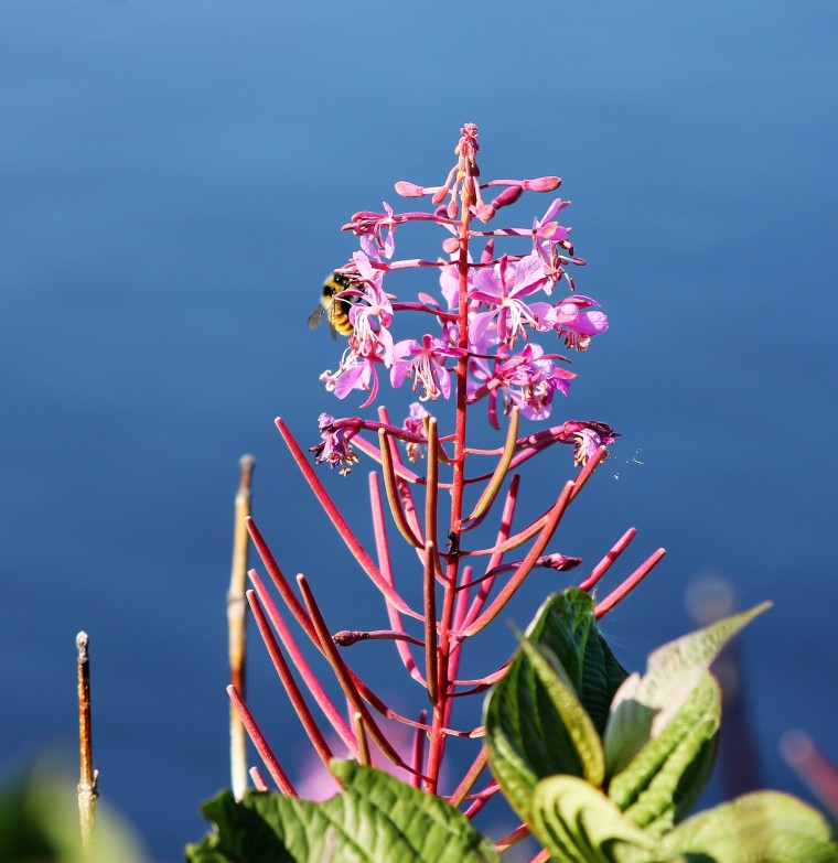 26 forillon bee